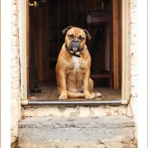 Bella the Australian Bulldog