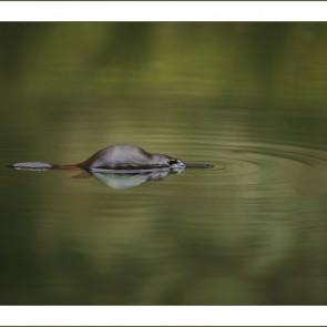 Platypus Ripples