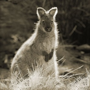 Cradle Mt Wallaby