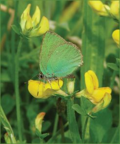 green hairstreak flower#