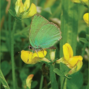 green hairstreak flower#