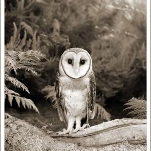 masked owl card