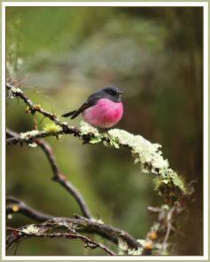pink robin2