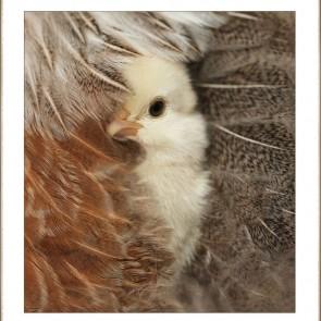 Margie's Chick