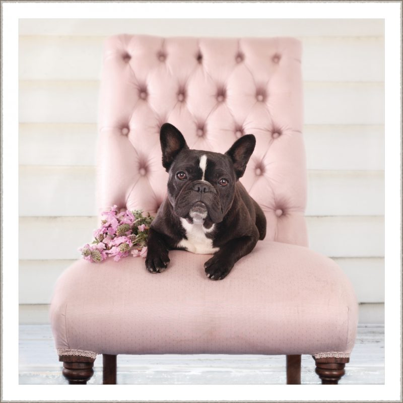 Sally the French Bulldog