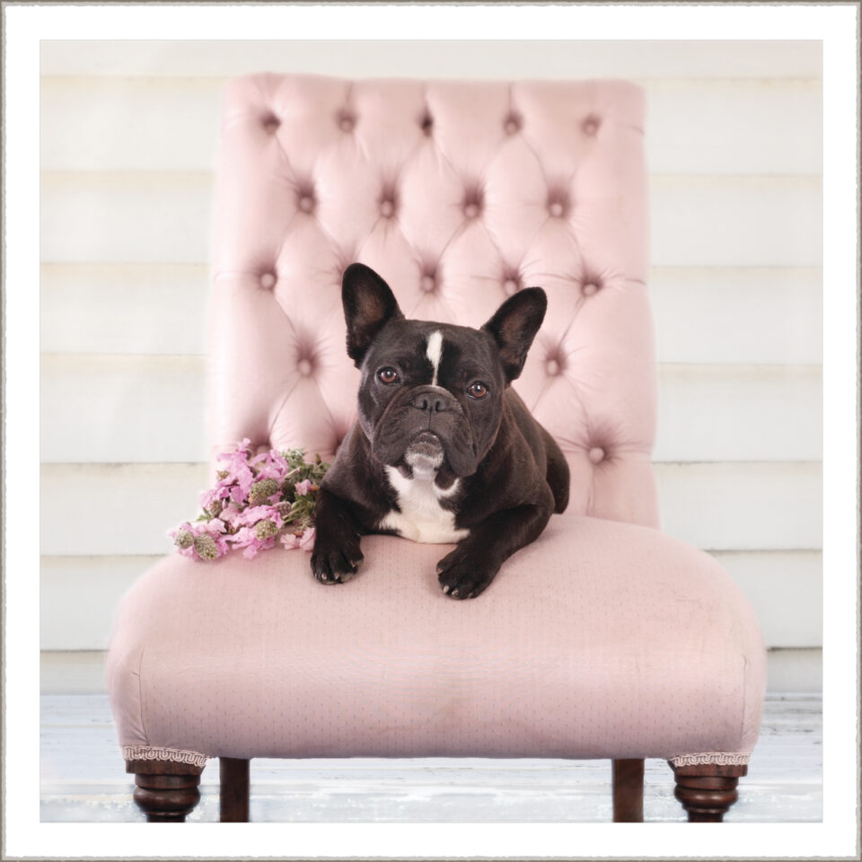 Sally French Bulldog
